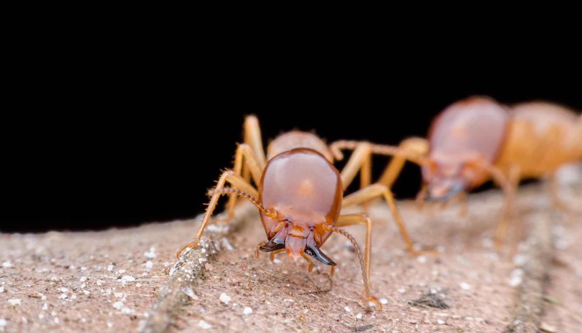 Tratamiento de termitas. Deshacerse de las termitas